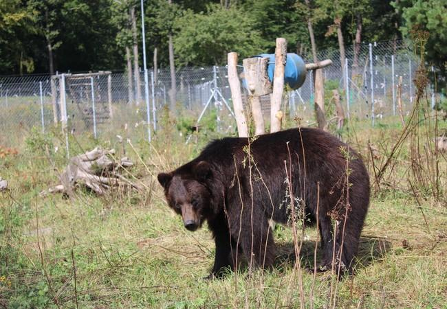 Bear Anya at BEAR SANCTUARY Domazhyr