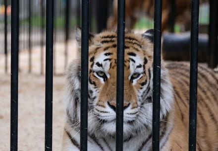 Tigre dans la cage