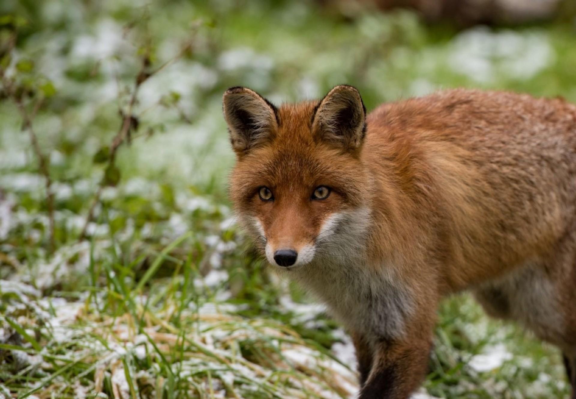 fox-grass