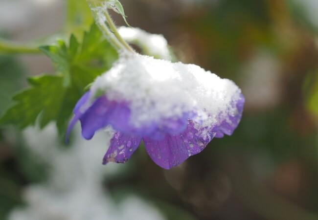 eine lilafarbene Blume ist von Schnee bedeckt