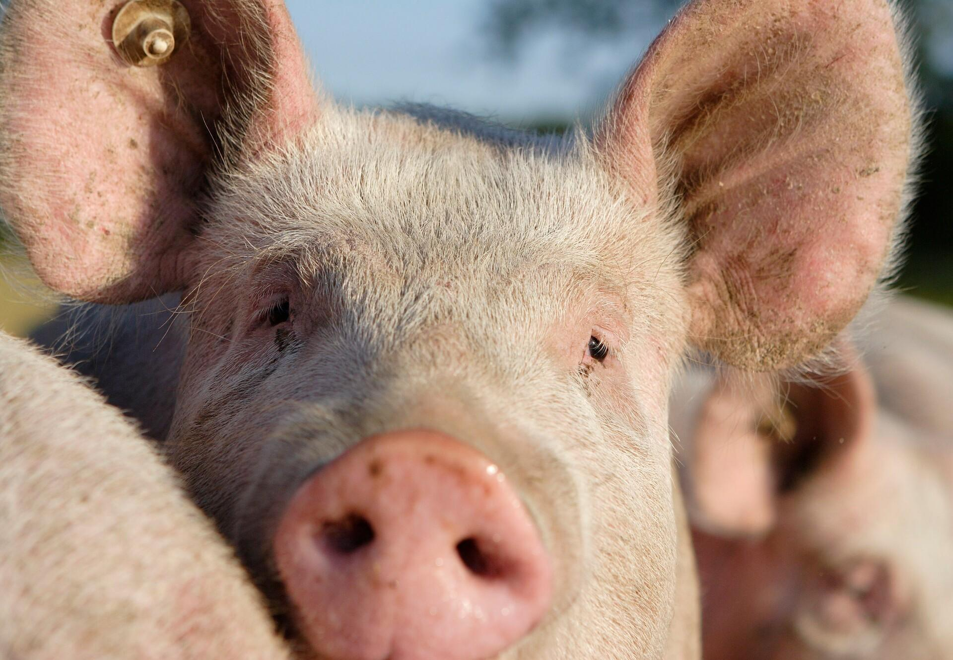 Des aliments inattendus peuvent contenir des ingrédients issus du cochon
