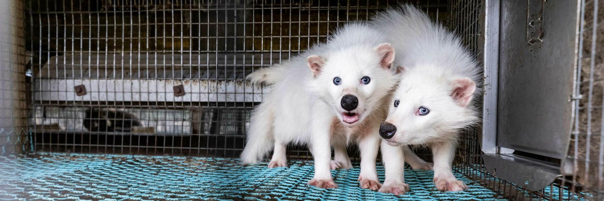 Maderhunde im Käfig