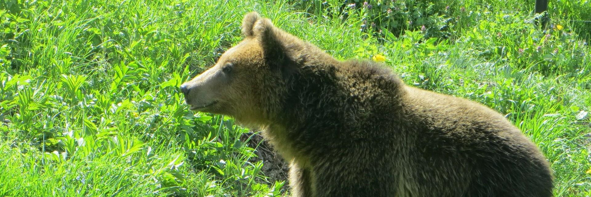 Happy bear runing