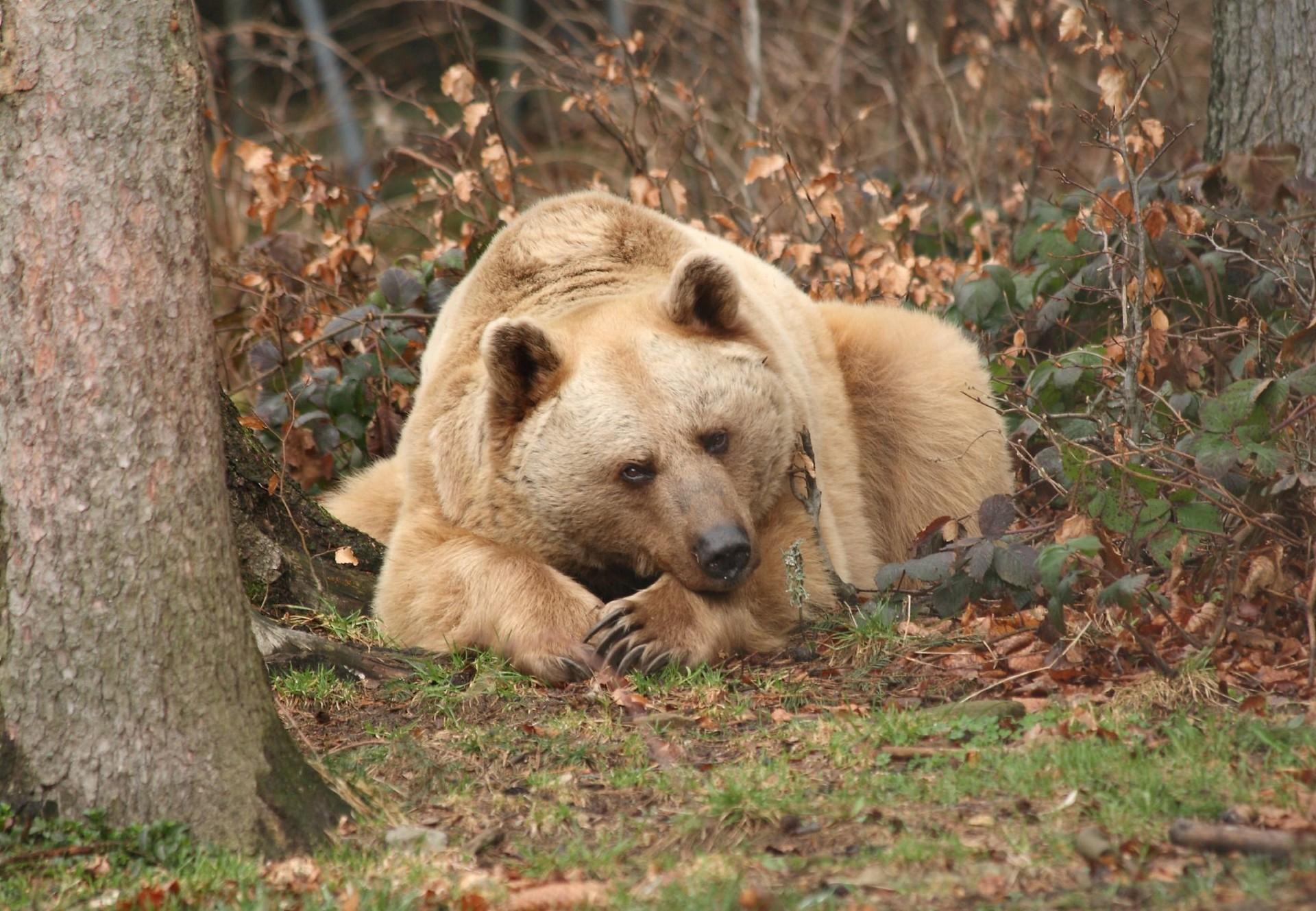 Bär Vinzenz schläft auf einem Blätterberg im BÄRENWALD Arbesbach