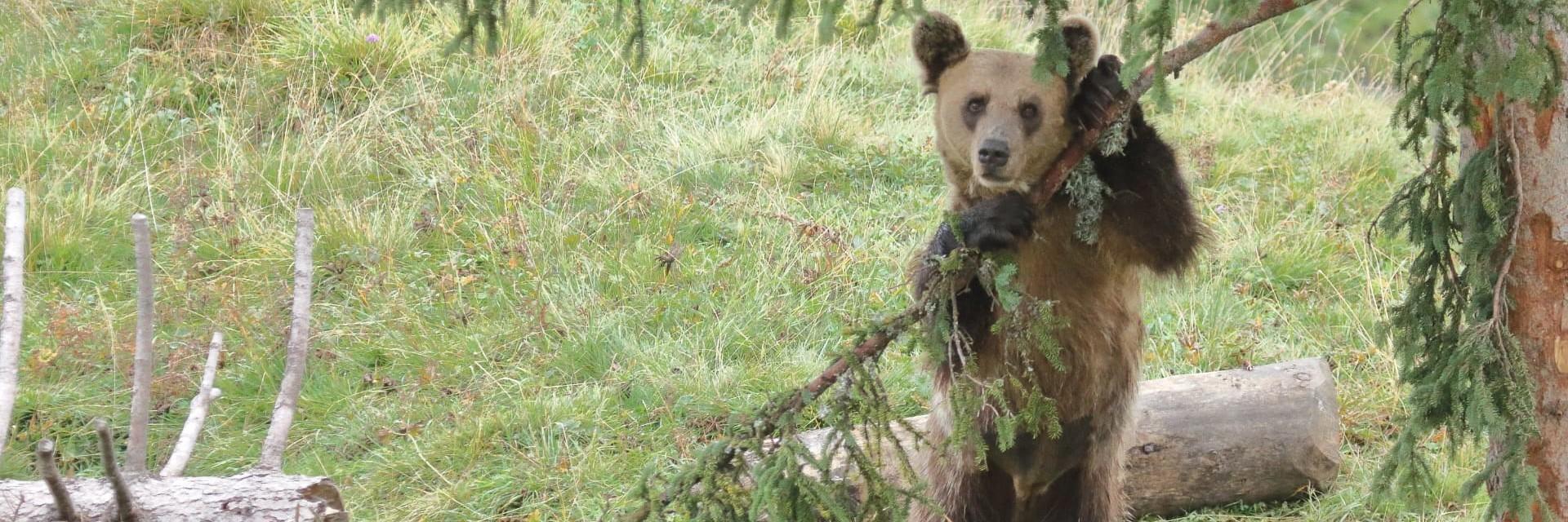 Bear Amelia in Arosa