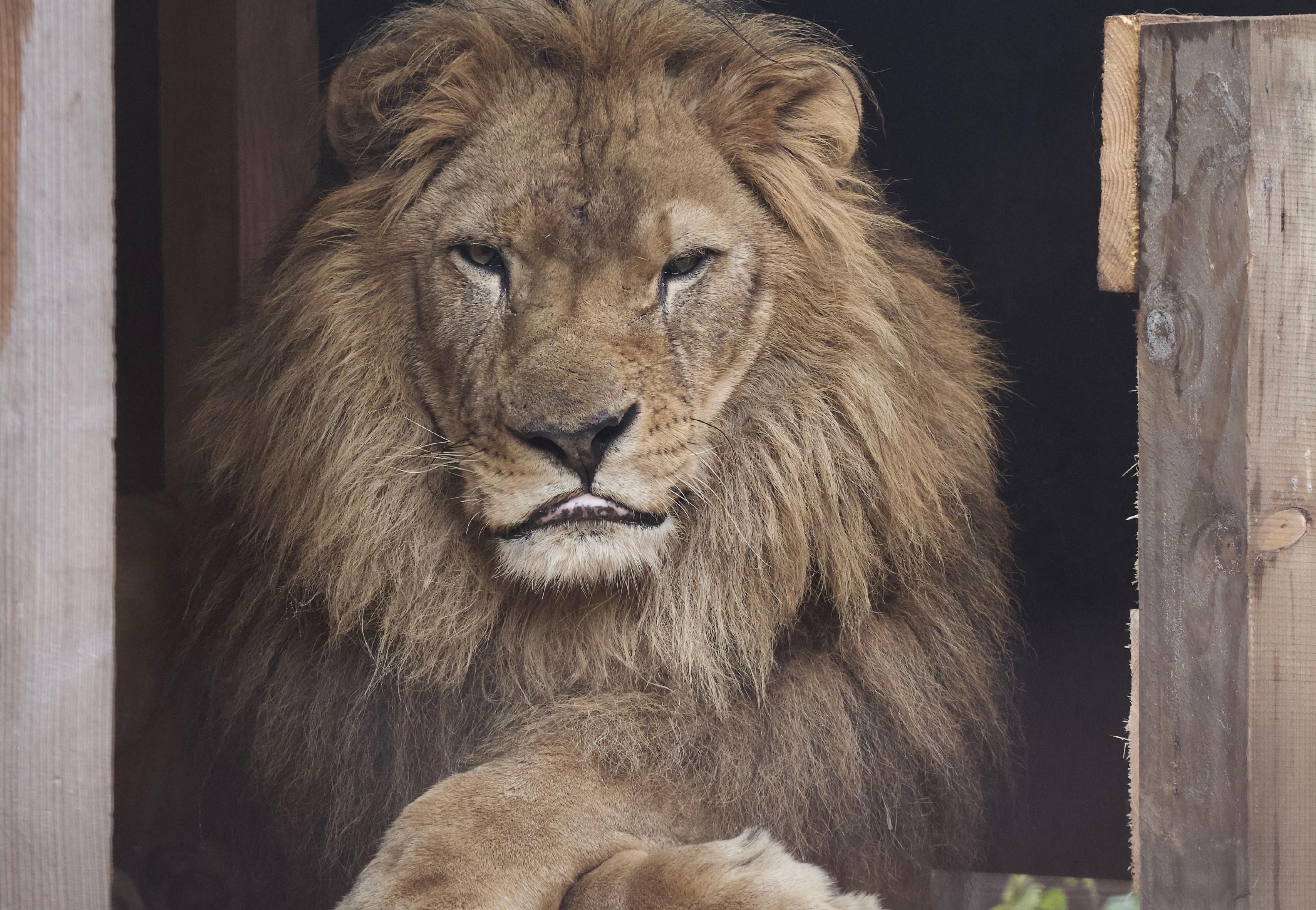 Leeuw Lenci in FELIDA