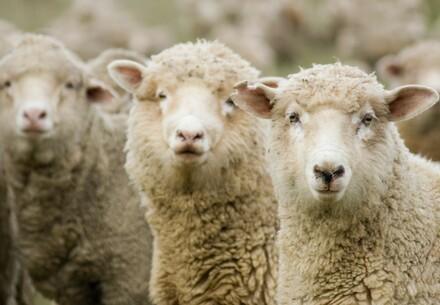 Three Australian sheep