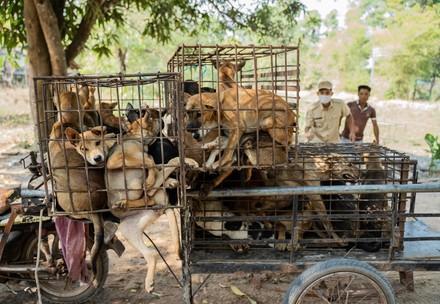 Dogs in Cambodia