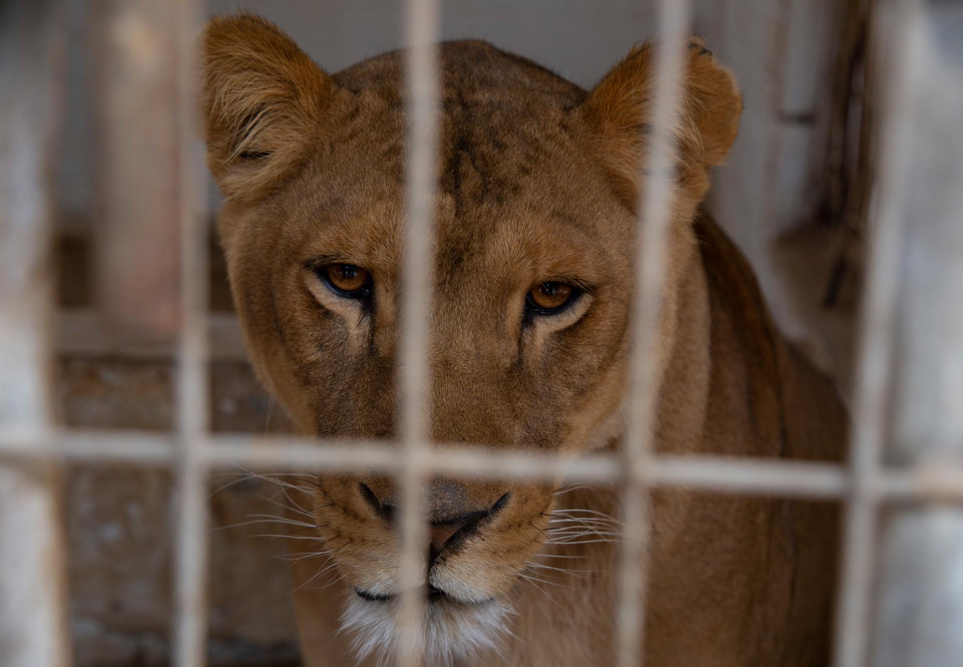 Löwin Gaza Zoo