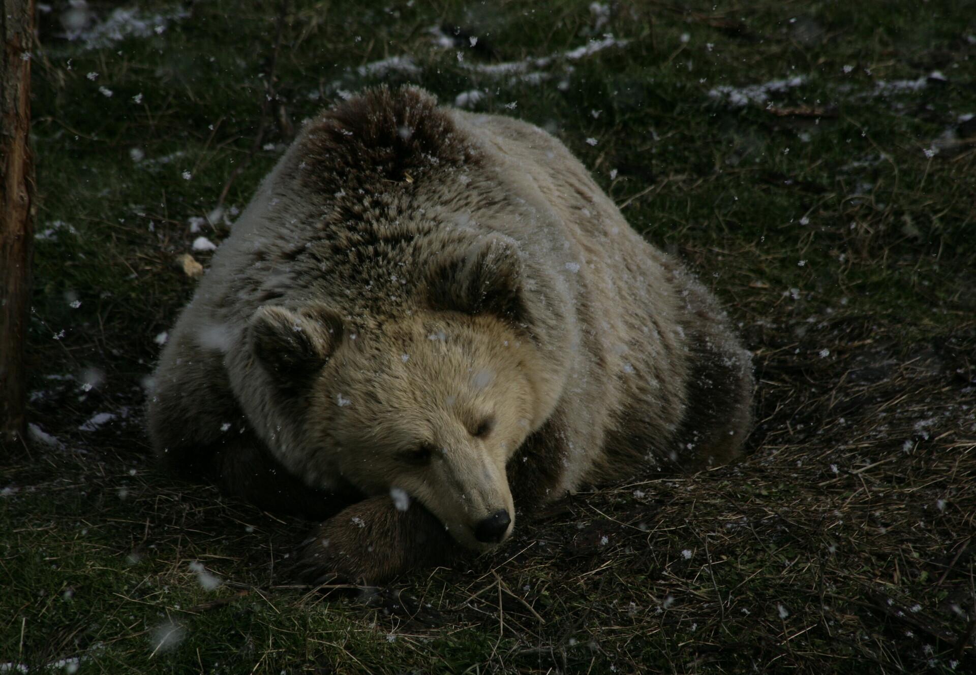 Bär liegt auf Wiese mit Schneeflocken
