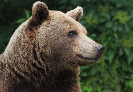 bear Miri