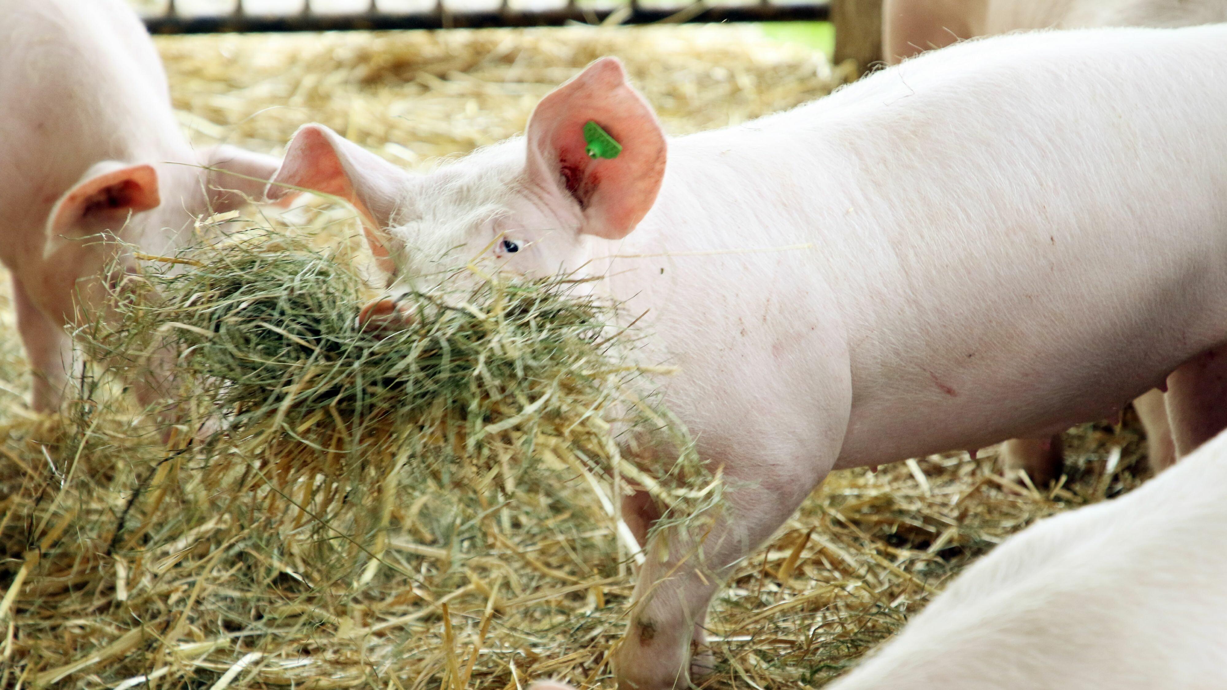Schweine spielen mit Stroh im Stall