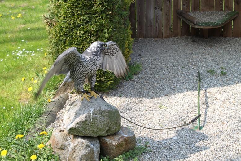 roofvogel op een steen