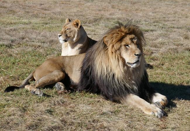 Leeuwen Kongo & Neida in LIONSROCK