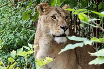 Lioness Elza
