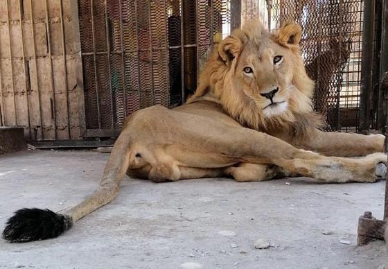Lion Mansour