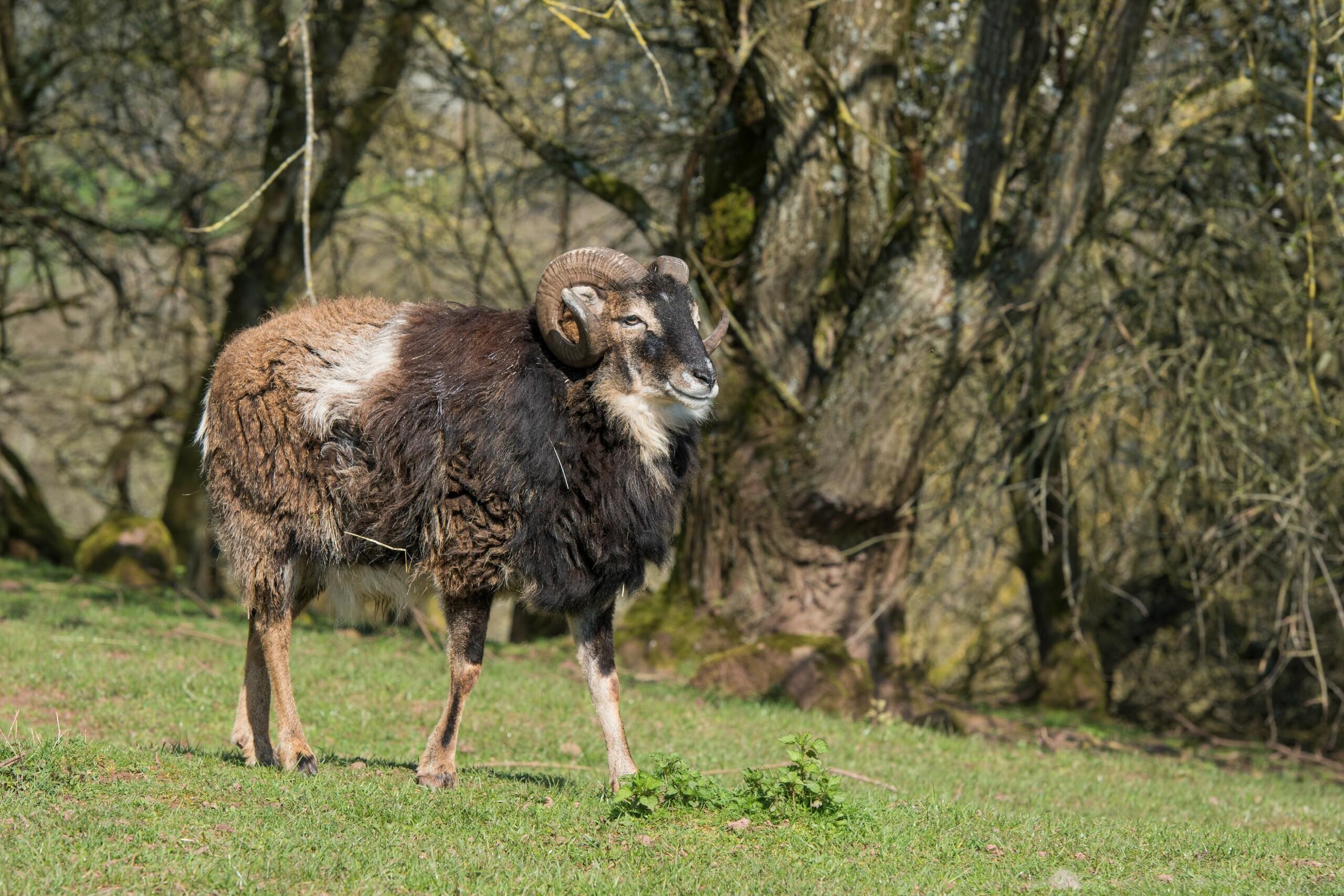Schaf bei TIERART