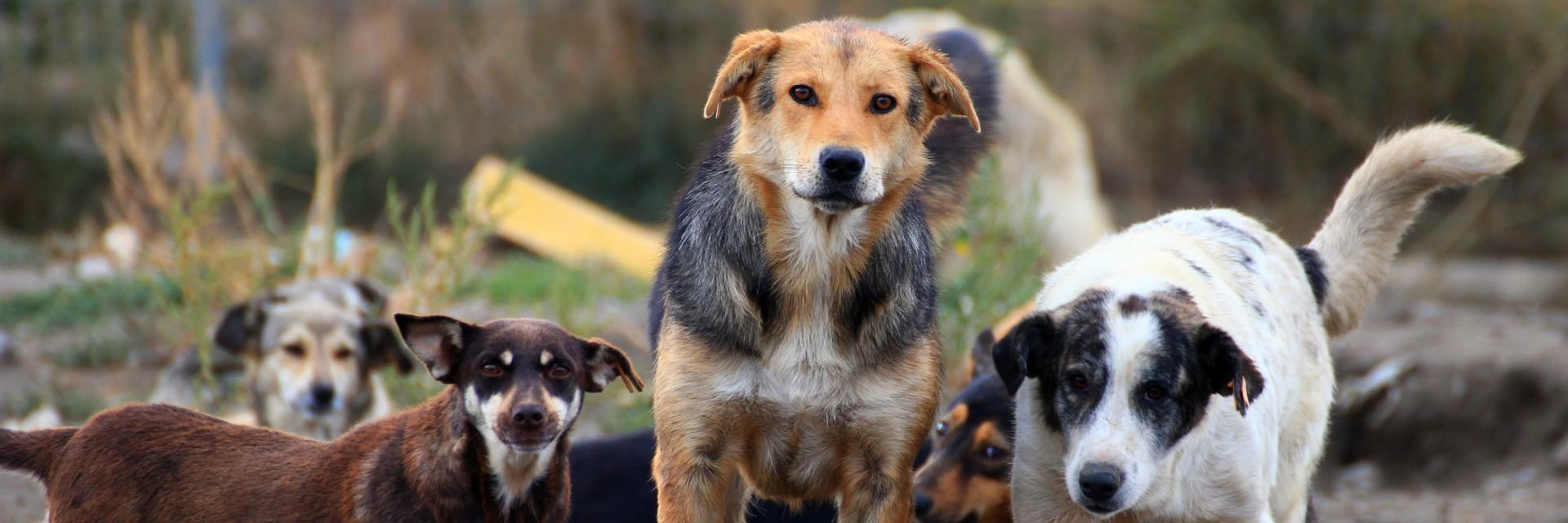 Stray dogs in Romania