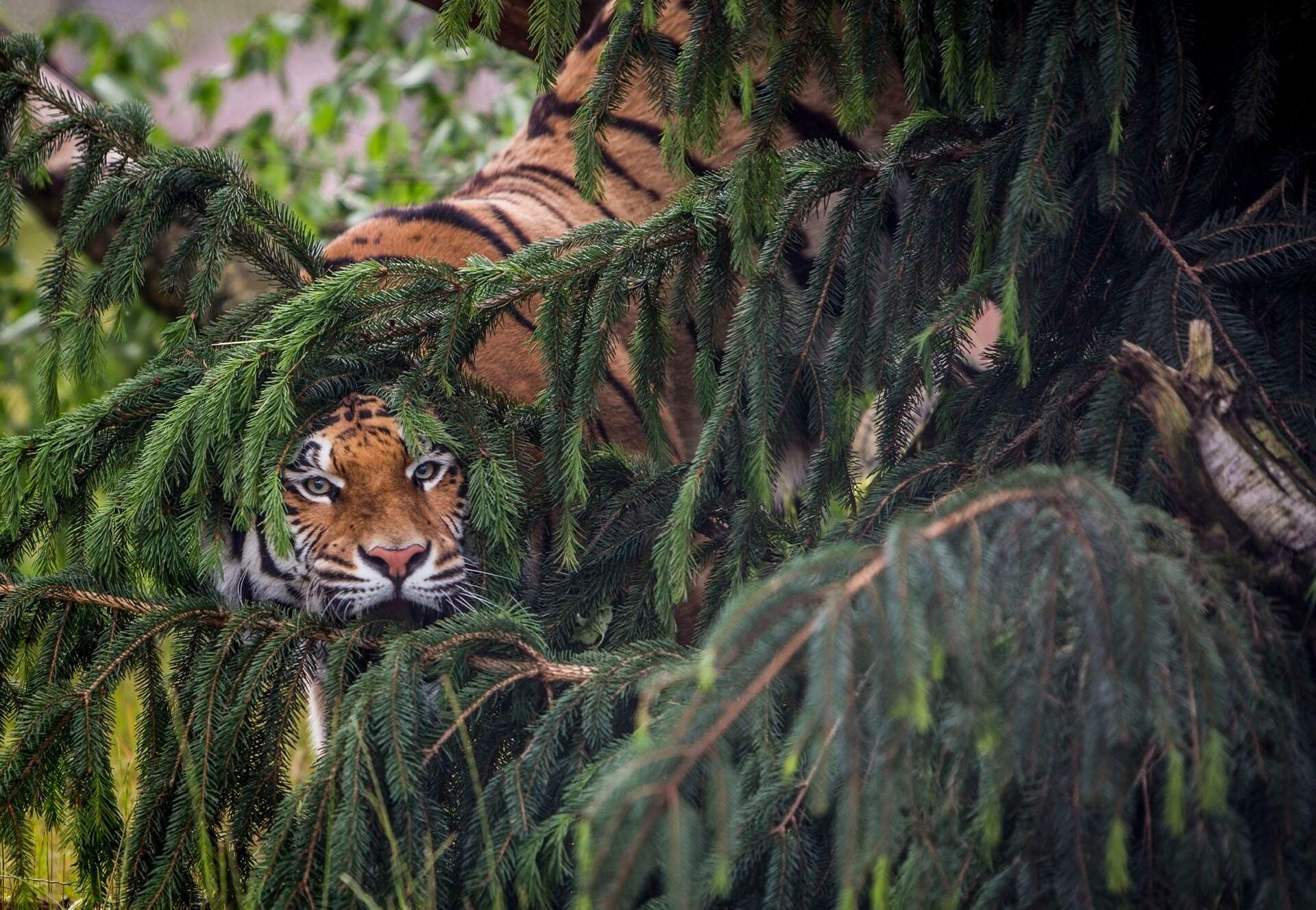 Tiger spielt Verstecken