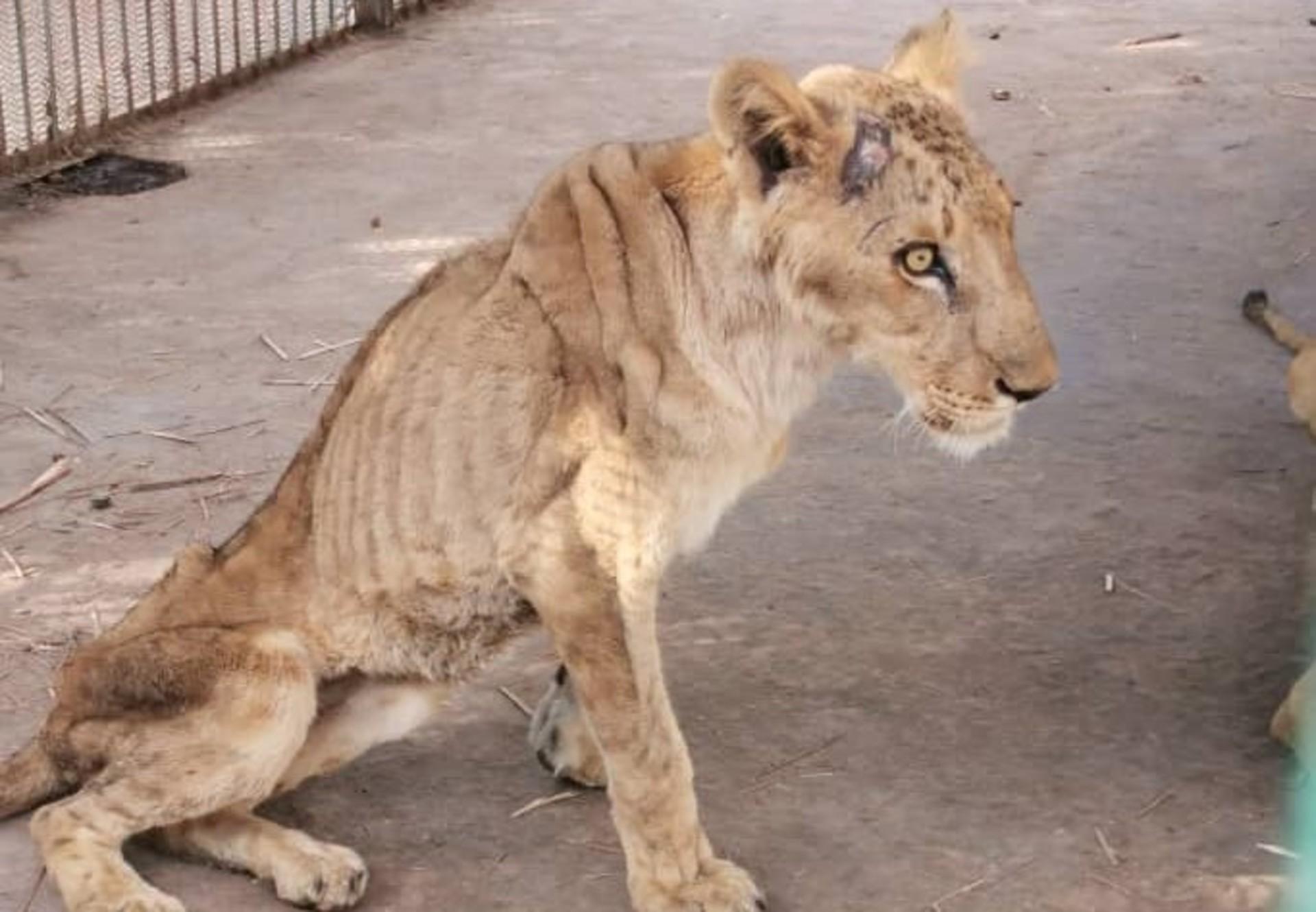 Löwen Sudan