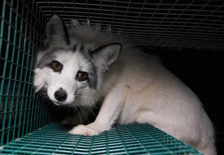 Fuchs wird aus Käfig gerettet