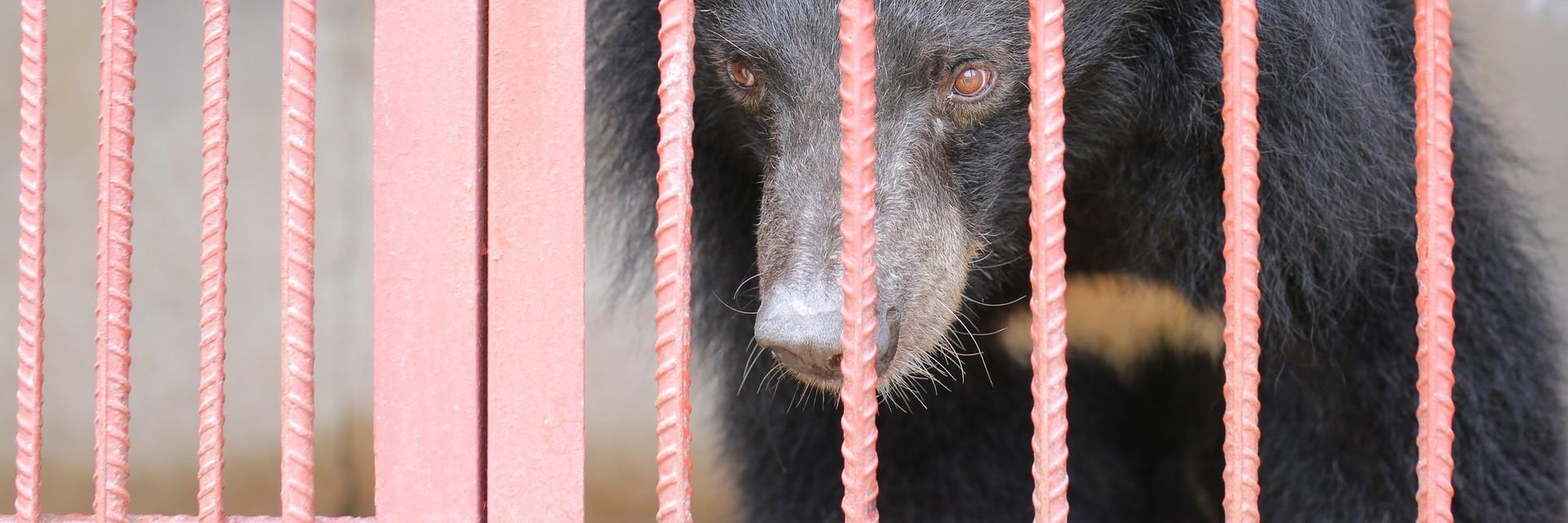 three female Asiatic black bears are suffering
