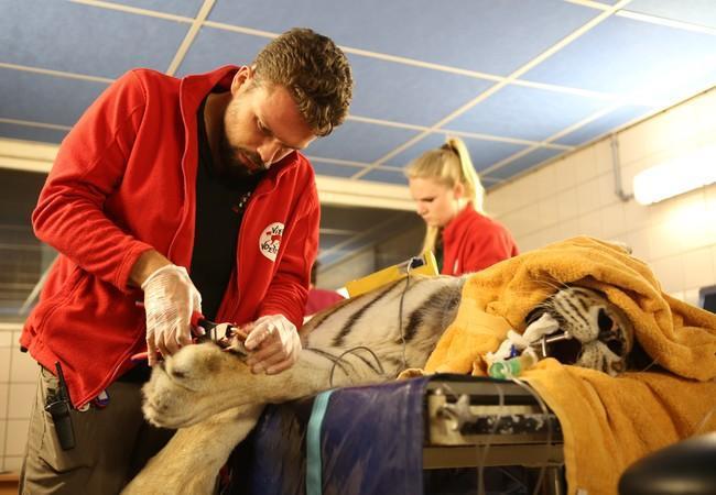 Juno beim Tierarztcheck der Tiger Sina und Salome in FELIDA