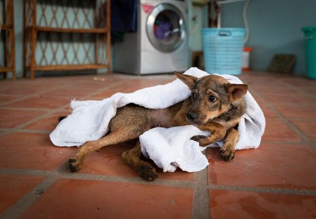 QUATRE PATTES sauve un chien d'un abattoir au Cambodge
