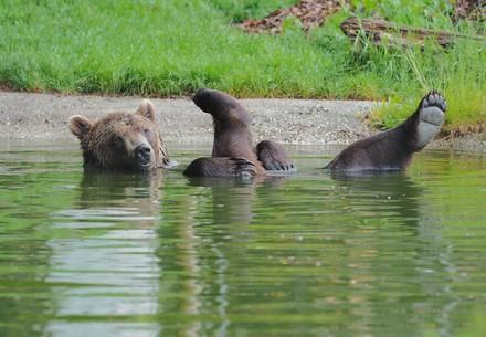 Braunbär Erich liegt entspannt im Teich und streckt die Hinterbeine aus dem Wasser