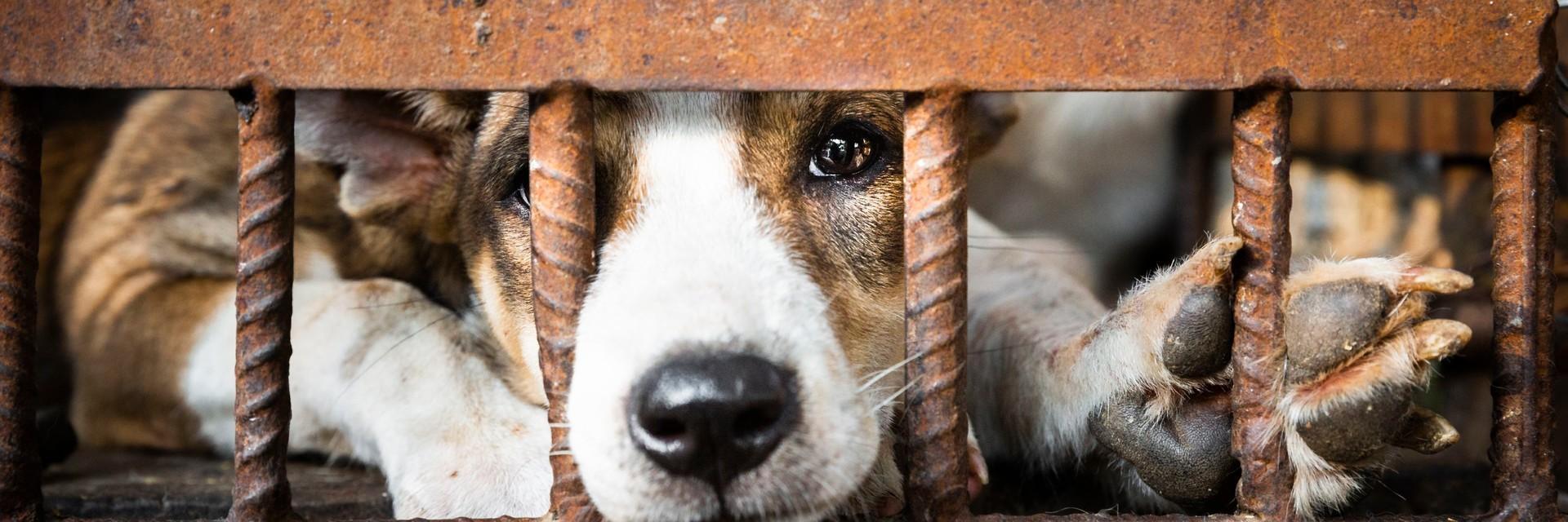 Un chien dans une cage destiné à être consommé