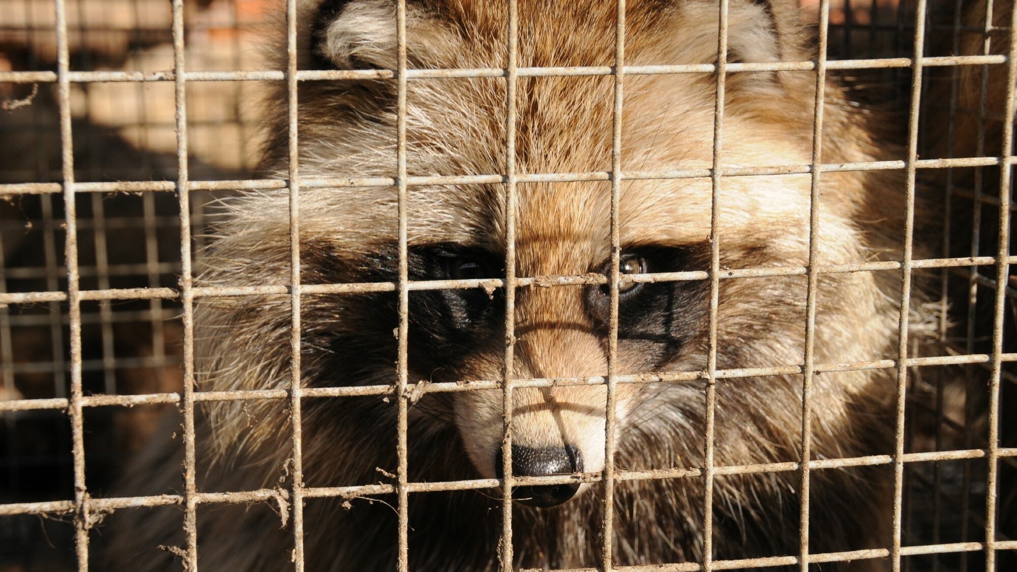 Raccoon dog on fur farm
