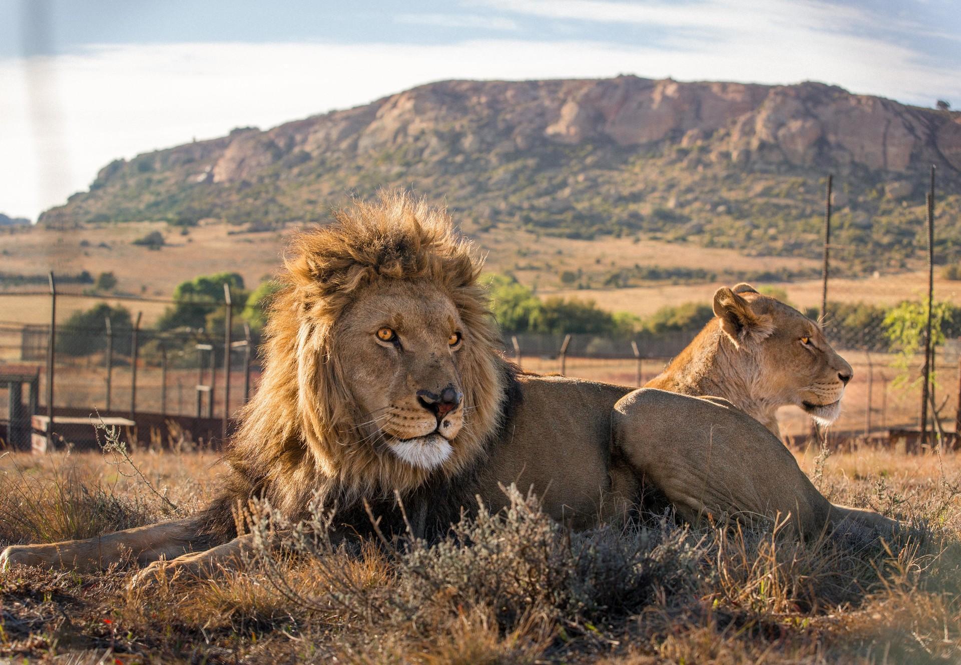 Une meute de lions et lionnes à LIONSROCK
