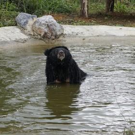 Ninh Binh bear in pond