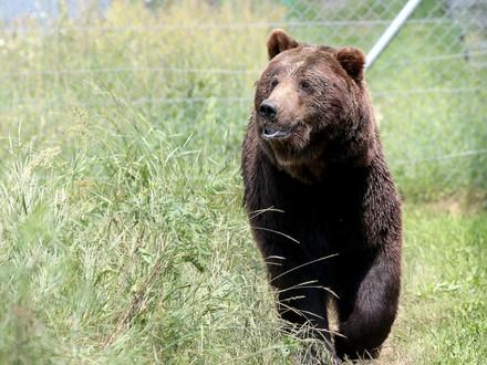 Bear Sirko