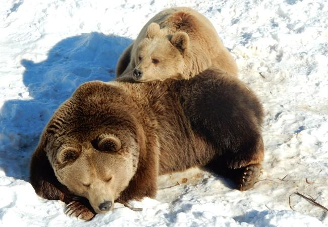 Brown bears Ari (front) and Rina (back) laying together in the snow