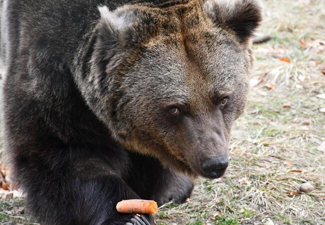 Brown bear Pavle