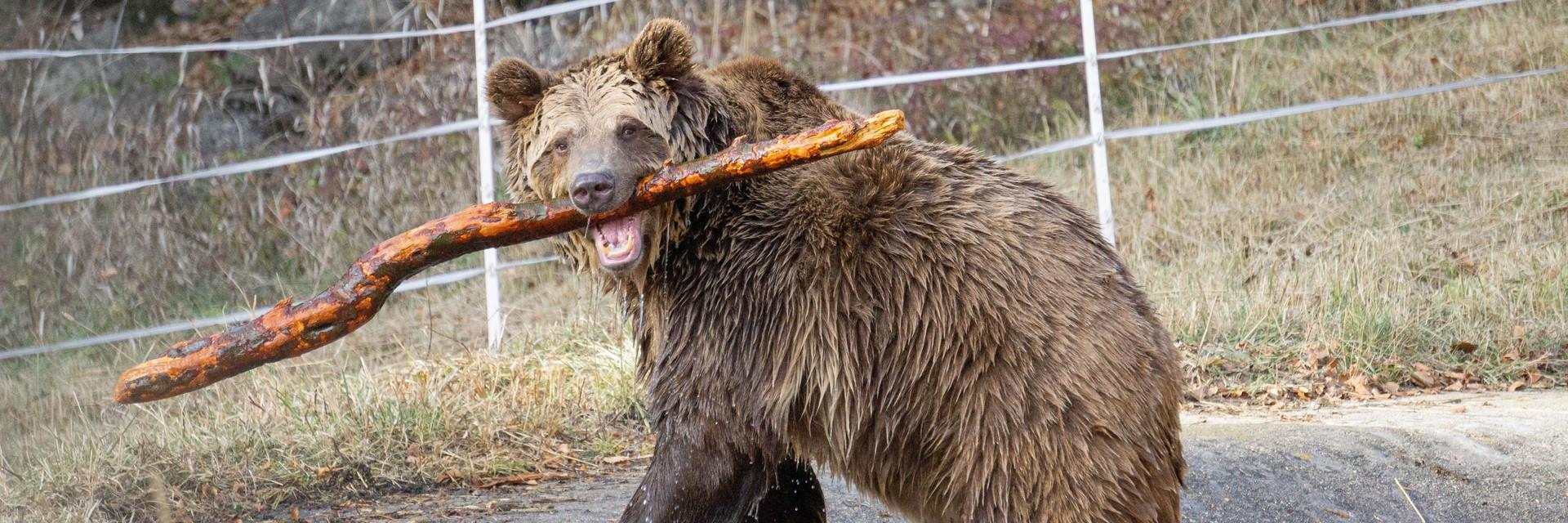 Brown bear at our sanctuary