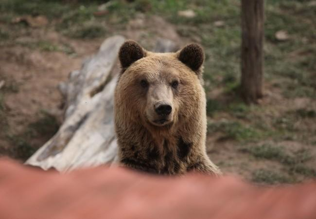 Brown bear Tomi