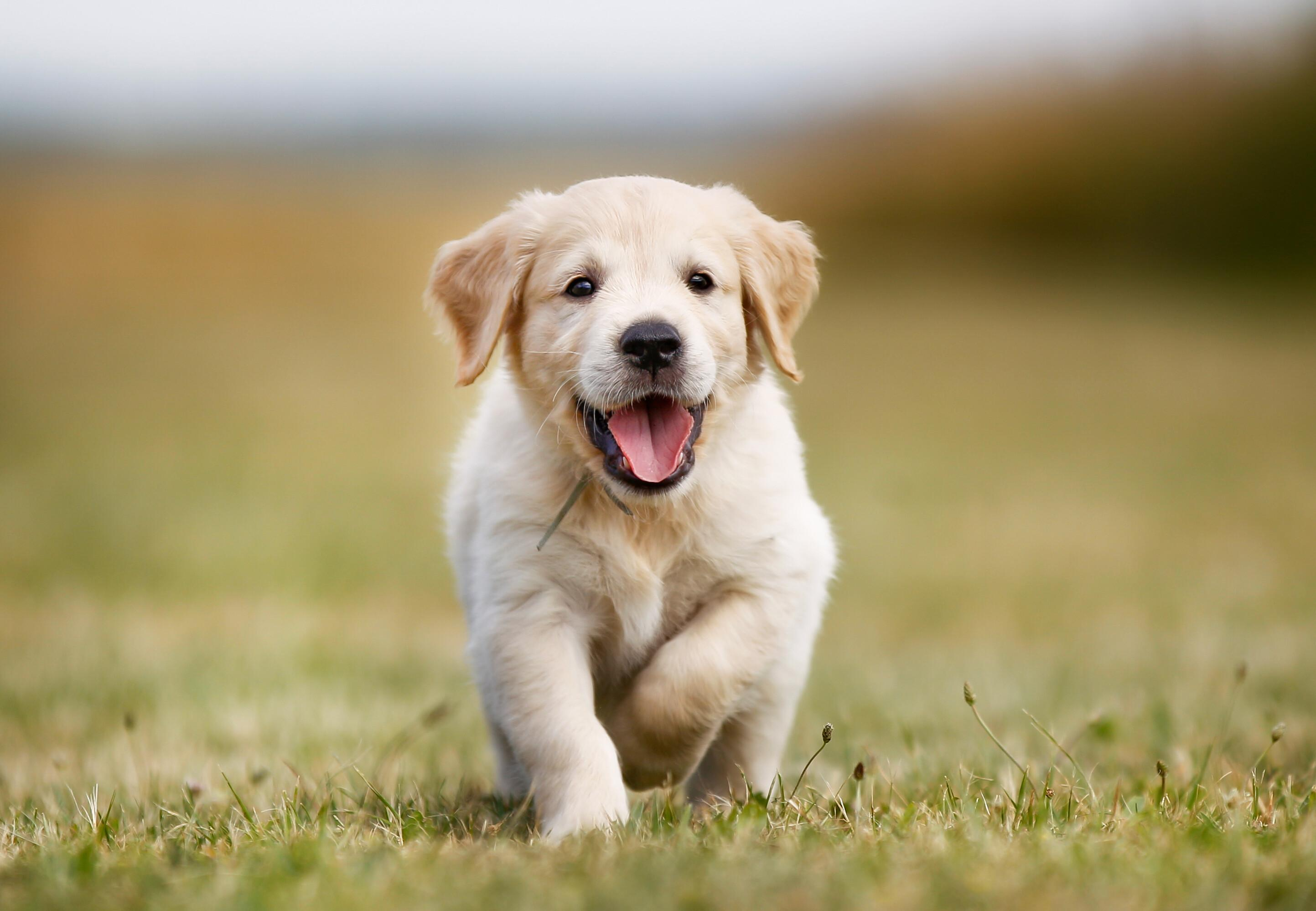 Golden retriever puppy outdoors on a sunny day