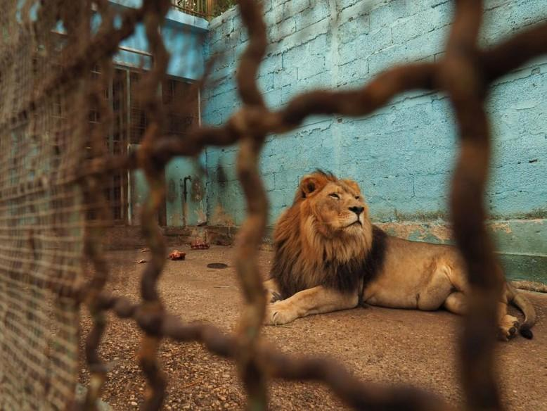 lion-cage-blue-wall