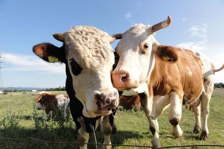 Rinder auf der Alm