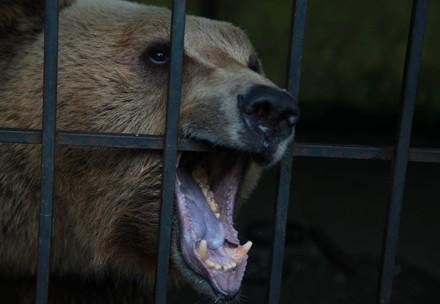 Bear in a cage