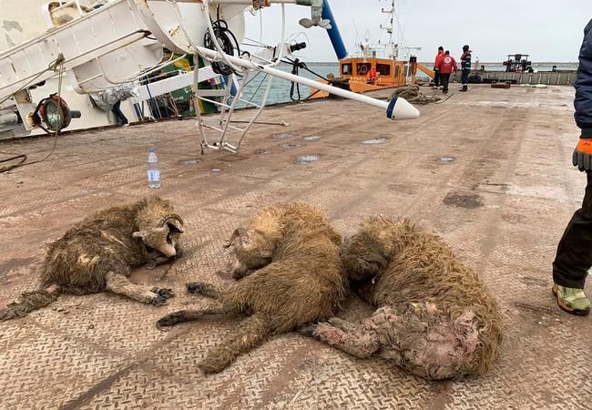 Geborgene Schafe liegen auf dem Schiffsquai