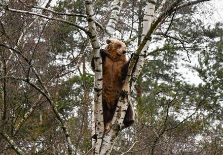 Bärin Luna klettert im Baum
