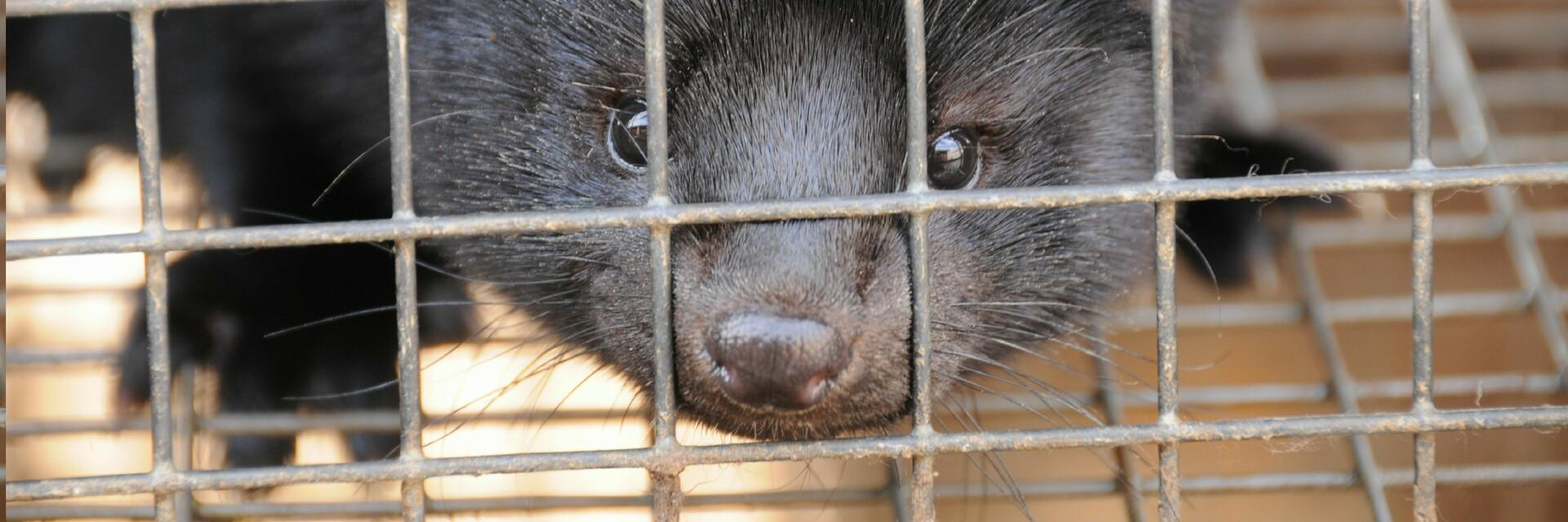 Pitiful mink in a cage in a fur farm