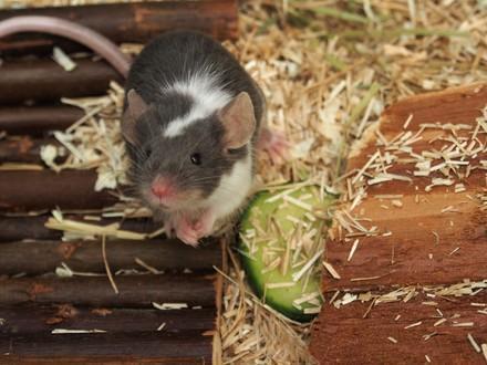 Mice as pets