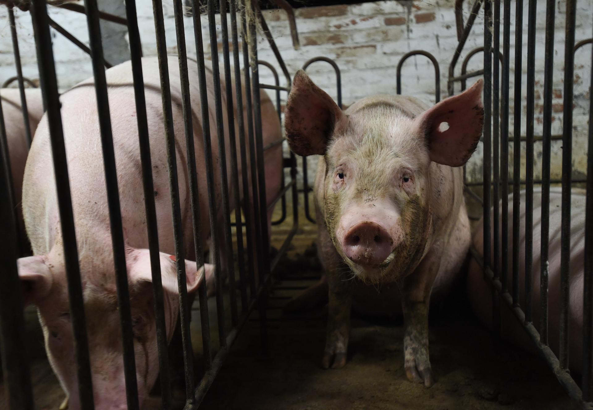Schweine in Massentierhaltung