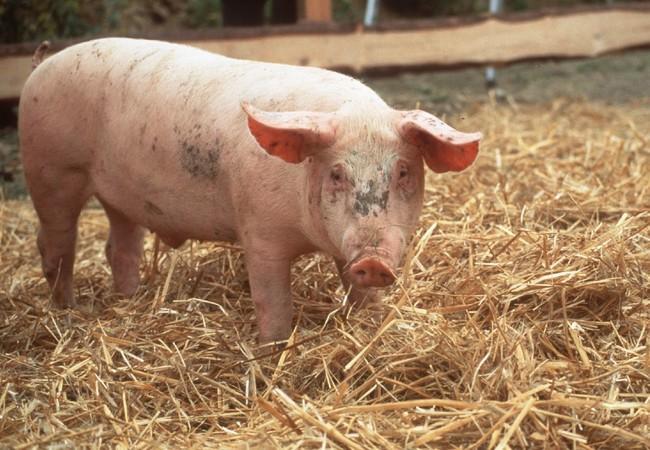 Schwein steht im im Stroh