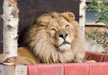Lion Bobby at FELIDA