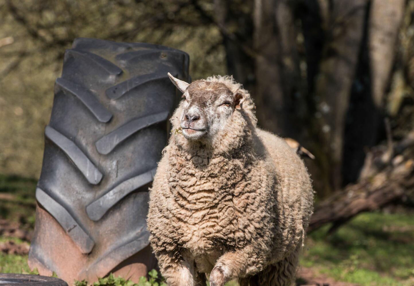 Schafe in der TIERART Wildtierstation